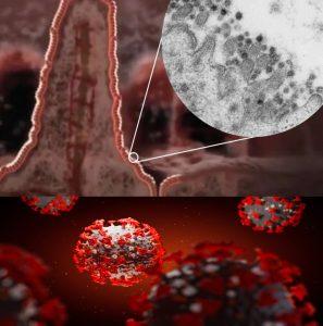 کرونا ویروس در روده باریک
